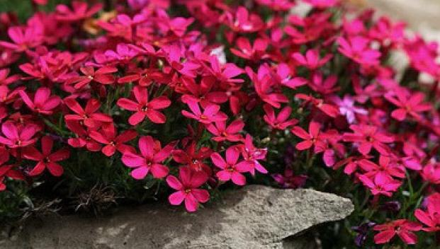 Red Creeping Phlox | www.imgkid.com - The Image Kid Has It!