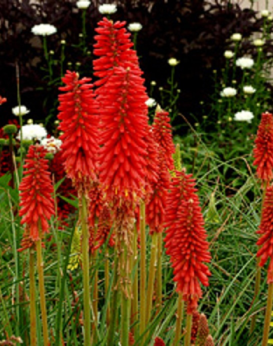 Pk x3 Dwarf Red Hot Poker Kniphofia Popsicle 'Red Hot ...